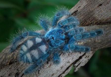 araignee bleue.
